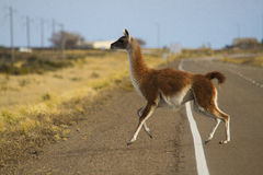 Male guanaco in patagonia Stock Photo