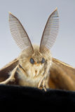 A male gypsy moth close-up