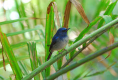 Male hainan blue flycatcher Stock Photos