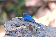 Male hainan blue flycatcher Royalty Free Stock Photography