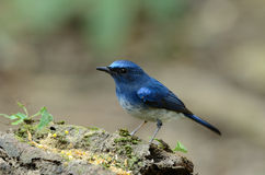 Male hainan blue flycatcher Royalty Free Stock Image