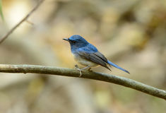 Male hainan blue flycatcher Stock Photo