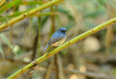 Male hainan blue flycatcher Royalty Free Stock Images