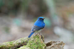 Male hainan blue flycatcher Royalty Free Stock Photos