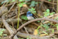 Male hainan blue flycatcher Stock Images