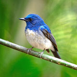 Male Hainan Blue Flycatcher Stock Photography