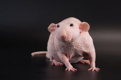 Male hairless rat Dumbo Sphynx breed. Stock Photo