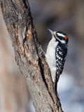 Male Hairy Woodpecker Stock Photography