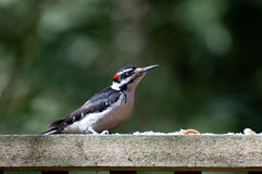 Male Hairy woodpecker dendrocopos villosus Stock Image