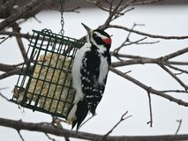 Male Hairy Woodpecker hanging off and eating from a suet feeder. Male Hairy Woodpecker hanging of and eating from a suet feeder.Vibrant black and white markings Royalty Free Stock Image