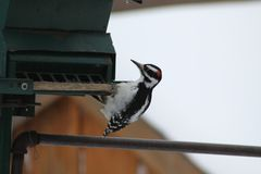 Hairy Woodpecker-Picoides villosus. Male Hairy Woodpecker Picoides villosus on a bird feeder searching for and eating seeds royalty free stock photography