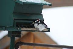 Hairy Woodpecker-Picoides villosus Royalty Free Stock Photos