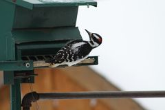 Hairy Woodpecker-Picoides villosus. Male Hairy Woodpecker Picoides villosus on a bird feeder searching for and eating seeds stock images