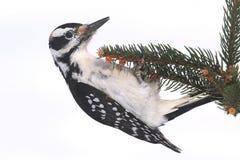 Male Hairy Woodpecker Picoides villosus Royalty Free Stock Image