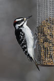 Male Hairy Woodpecker (Picoides villosus). A male Hairy Woodpecker perches on a nut feeder in the afternoon sun stock photography