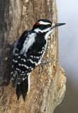 Male Hairy Woodpecker (Picoides villosus). A male Hairy Woodpecker perches on a tree feeder in the afternoon sun stock photo