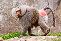Male Hamadryas Baboon. A male Hamadryas Baboon at the Asheboro Zoo in North Carolina Stock Photo