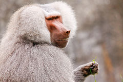 Male Hamadryas Baboon Eating royalty free stock photography
