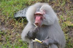 Male Hamadryas baboon eating a banana tree leaf Stock Photos