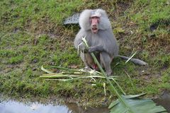 Male Hamadryas baboon eating a banana tree leaf on a river bank Royalty Free Stock Photos