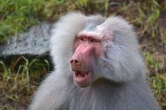 Male Hamadryas baboon face portrait stock photo
