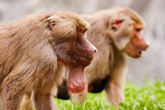 Male Hamadryas Baboon with Food Pouch Stock Photos