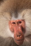 Male hamadryas baboon portrait Royalty Free Stock Image