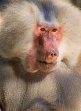 Male hamadryas baboon portrait Royalty Free Stock Photo