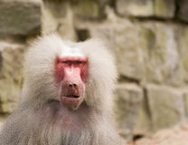 Male hamadryas baboon portrait Royalty Free Stock Photo