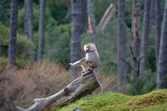 Male Hamadryas baboon sits on a tree trunk royalty free stock photos