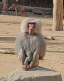 Male hamadryas baboon sitting on a rock. Male hamadryas baboon, an african monkey with long gray fur sitting on a stone looking attentively stock photos