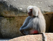 Male hamadryas baboon sitting on a rock royalty free stock image