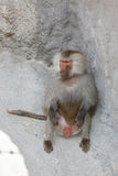 Male Hamadryas baboon is sitting among the stones Stock Images