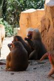 Male hamadryas baboon with troop. The hamadryas baboon is a species of baboon from the Old World monkey family. It is the northernmost of all the baboons, being royalty free stock photography