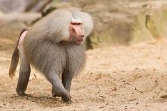 Male hamadryas baboon Royalty Free Stock Photography