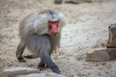 Male Hamadryas baboon walking. Male Hamadryas baboon (Papio hamadryas) walking through sand. This is a species from the Old World monkey family royalty free stock image