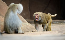 Male hamadryas baboon is walking towards other Royalty Free Stock Photos