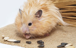 Male hamster eating sunflower seeds Royalty Free Stock Photography
