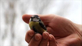 Male hand caressing a wild baby bird. Male hand caressing a wild baby blue tit stock video