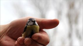 Male hand caressing a wild baby bird. Blue tit stock video footage