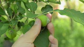 Male hand checking unripe apple in an orchard. Closeup shot stock video