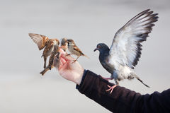 Male hand feeding birds Stock Images