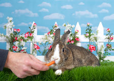 Male hand feeding carrot to pet bunny in garden. Brown and white dwarf bunny laying in green grass facing viewer, male hand feeding baby carrot. White picket Royalty Free Stock Image
