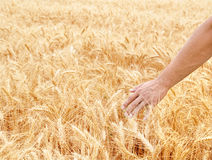 Male hand in gold wheat field Royalty Free Stock Image