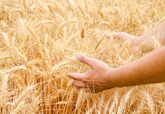 Male hand in gold wheat field Royalty Free Stock Images