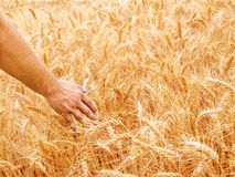 Male hand in gold wheat field Stock Photos