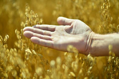 Male hand and golden wheat ears Stock Photography