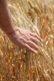Male hand on the golden wheat field Stock Photography