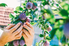 Male hand harvest ripe plums on a hot summer day. With space for your text Royalty Free Stock Photos
