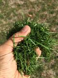 Male hand holding cut grass. stock images